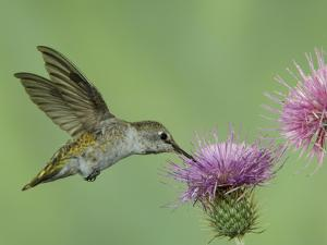 Female Anna's Hummingbird at Thistle, Paradise, Chiricahua Mountains, Arizona, USA by Rolf Nussbaumer