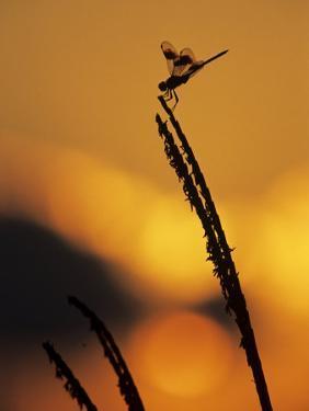Four-Spotted Pennant, Welder Wildlife Refuge, Sinton, Texas, USA by Rolf Nussbaumer