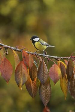 Great Tit (Parus major), adult perched on autumn branch of Cherry tree, Oberaegeri, Switzerland by Rolf Nussbaumer