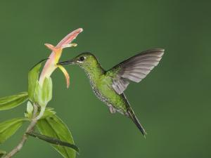 """Green-Crowned Brilliant Female in Flight Feeding on """"Snakeface"""" Flower, Central Valley, Costa Rica by Rolf Nussbaumer"""