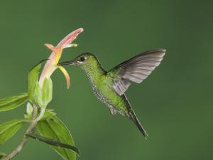 "Green-Crowned Brilliant Female in Flight Feeding on ""Snakeface"" Flower, Central Valley, Costa Rica by Rolf Nussbaumer"