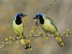 Green Jay Pair, Texas, USA by Rolf Nussbaumer