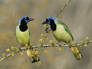 Green Jay Pair, Texas, USA by Rolf Nussbaumer