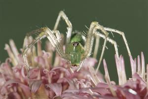 Green Lynx Spider (Peucetia Viridans) Texas, USA by Rolf Nussbaumer