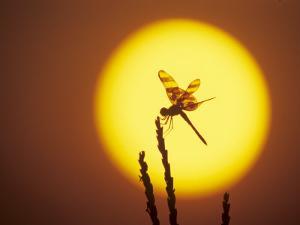 Haloween Pennant Dragonfly, Silhouette at Sunrise, Welder Wildlife Refuge, Sinton, Texas, USA by Rolf Nussbaumer