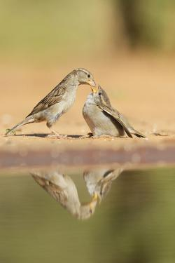 House Sparrow female feeding young, Rio Grande Valley, South Texas, USA by Rolf Nussbaumer