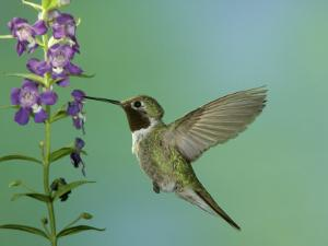 Hummingbird Feeding on Purple Angelonia, Paradise, Chiricahua Mountains, Arizona, USA by Rolf Nussbaumer