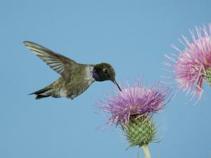 Hummingbird Feeding on Thistle, Paradise, Chiricahua Mountains, Arizona, USA by Rolf Nussbaumer