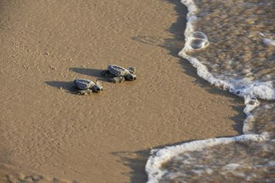 Kemp's riley sea turtle baby turtles walking towards surf, South Padre Island, South Texas, USA by Rolf Nussbaumer