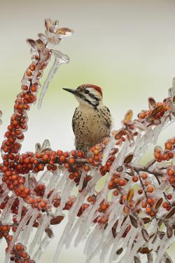 Ladder-backed Woodpecker  perched on icy branch of Yaupon Holly with berries, Hill Country, Texas by Rolf Nussbaumer