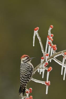 Ladder-backed Woodpecker perched on icy Possum Haw Holly, Hill Country, Texas, USA by Rolf Nussbaumer