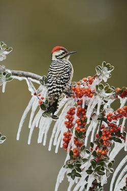 Ladder-backed Woodpecker perched on icy Yaupon Holly, Hill Country, Texas, USA by Rolf Nussbaumer