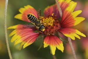 Leafcutter bee feeding on Indian Blanket, Texas, USA by Rolf Nussbaumer
