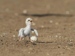 Least Tern young tern calling, Port Isabel, Laguna Madre, Texas, USA by Rolf Nussbaumer