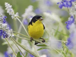 Lesser Goldfinch Black-Backed Male on Mealy Sage Hill Country, Texas, USA by Rolf Nussbaumer