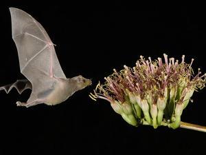 Lesser Long-Nosed Bat in Flight Feeding on Agave Blossom, Tuscon, Arizona, USA by Rolf Nussbaumer