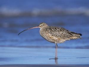 Long-Billed Curlew, Padre Island National Seashore, Texas, USA by Rolf Nussbaumer
