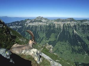 Male Alpine Ibex, View of Sigriswiler Rothorn, Niederhorn, Switzerland by Rolf Nussbaumer