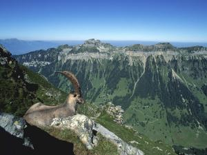 Male Alpine Ibex, View of Sigriswiler Rothorn, Niederhorn, Switzerland by Rolf Nussbaumer