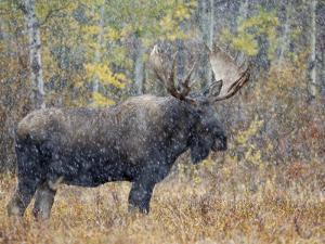 Moose Bull in Snow Storm with Aspen Trees in Background, Grand Teton National Park, Wyoming, USA by Rolf Nussbaumer