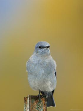 Mountain Bluebird, Male on Post, Grand Teton National Park, Wyoming, USA by Rolf Nussbaumer