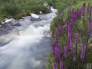 Mountain Stream, Ouray, San Juan Mountains, Rocky Mountains, Colorado, USA by Rolf Nussbaumer