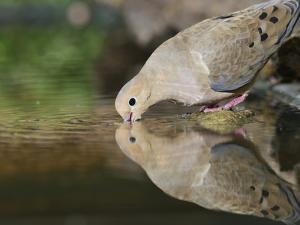Mourning Dove drinking, Hill Country, Texas, USA by Rolf Nussbaumer