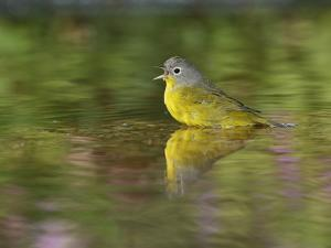Nashville Warbler bathing in pond, Hill Country, Texas, USA by Rolf Nussbaumer
