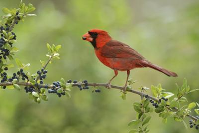 Northern Cardinal male eating Elbow bush berries, Hill Country, Texas, USA by Rolf Nussbaumer