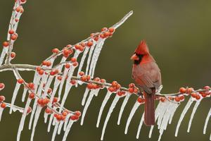 Northern Cardinal male perched on icy Possum Haw Holly, Hill Country, Texas, USA by Rolf Nussbaumer