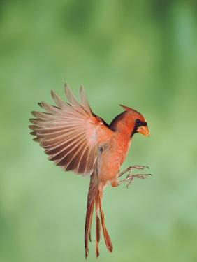 Northern Cardinal, New Braunfels, Hill Country, Texas, USA by Rolf Nussbaumer