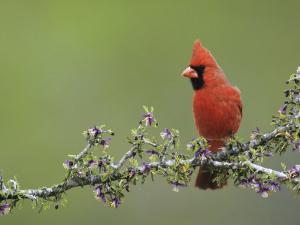 Northern Cardinal on Blooming Guayacan, Rio Grande Valley, Texas, USA by Rolf Nussbaumer