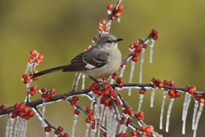 Northern Mockingbird perched on icy Possum Haw Holly, Hill Country, Texas, USA by Rolf Nussbaumer