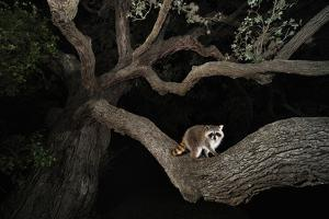 Northern Raccoon (Procyon Lotor) by Rolf Nussbaumer