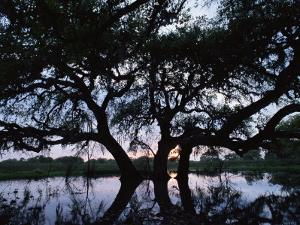 Oak Tree Silhouette at Sunset, Texas, USA by Rolf Nussbaumer