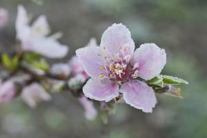 Peach tree frost covered blossom, Texas, USA by Rolf Nussbaumer