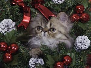 Persian Cat Brown Tabby Kitten Amongst Christmas Decorations, Texas, USA by Rolf Nussbaumer