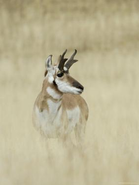 Pronghorn Antelope, Male, Yellowstone National Park, Wyoming, USA by Rolf Nussbaumer