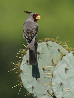 Pyrrhuloxia on Texas Prickly Pear Cactus, Rio Grande Valley, Texas, USA by Rolf Nussbaumer