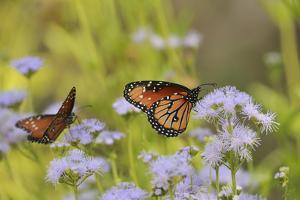 Queen feeding on blooming Gregg's Mistflower, Hill Country, Texas, USA by Rolf Nussbaumer