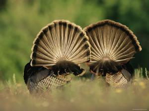 Rear View of Male Wild Turkey Tail Feathers During Display, Texas, USA by Rolf Nussbaumer