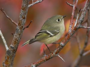Ruby Crowned Kinglet, Adult in Black Hawthorn, Grand Teton National Park, Wyoming, USA by Rolf Nussbaumer