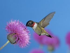 Ruby Throated Hummingbird, Feeding from Flower, USA by Rolf Nussbaumer