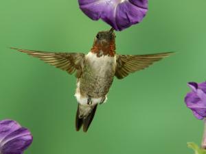 Ruby-Throated Hummingbird Feeding on Petunia, New Braunfels, Texas, USA by Rolf Nussbaumer