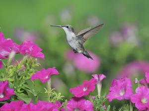 Ruby-throated Hummingbird female in flight feeding, Hill Country, Texas, USA by Rolf Nussbaumer