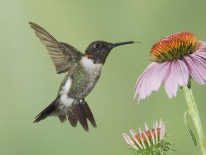 Ruby-Throated Hummingbird in Flight Feeding on Purple Coneflower, New Braunfels, Texas, USA by Rolf Nussbaumer