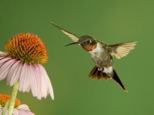 Ruby Throated Hummingbird,Male Feeding on Purple Coneflower, New Braunfels, Texas, USA by Rolf Nussbaumer