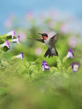 Ruby-throated Hummingbird male in flight feeding, Hill Country, Texas, USA by Rolf Nussbaumer