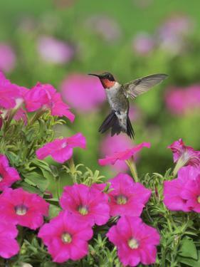 Ruby-throated Hummingbird male in flight feeding, Hill Country, Texas, USA by Rolf Nussbaumer