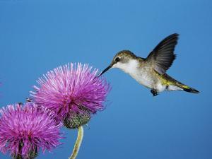 Ruby-Throated Hummingbird, Welder Wildlife Refuge, Sinton, Texas, USA by Rolf Nussbaumer